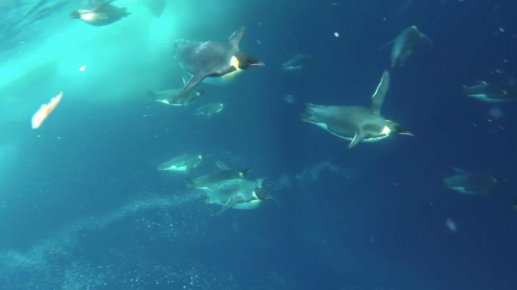 Pinguine gleiten durch das blaue Wasser.